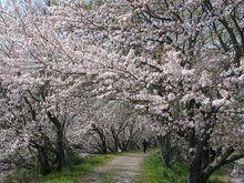 都田川堤です。桜の花が見ごろです。