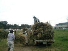 刈られたヨシはしっかり束ねて茶畑へ