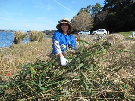 刈り取った長いヨシを運ぶのは意外と重労働です。