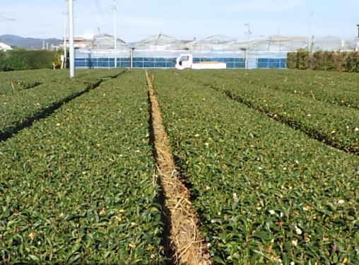 まるたまさんの茶畑にヨシが敷き詰められました。